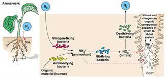 دانلود مقاله درمورد متابولیسم نیتروژن در شبکه